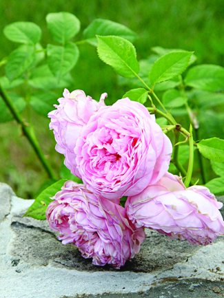 rose plant in garden