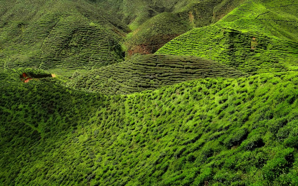 A Malaysia Tea Plantation. Photo: Bjørn Christian Tørrissen, Wikimedia Commons