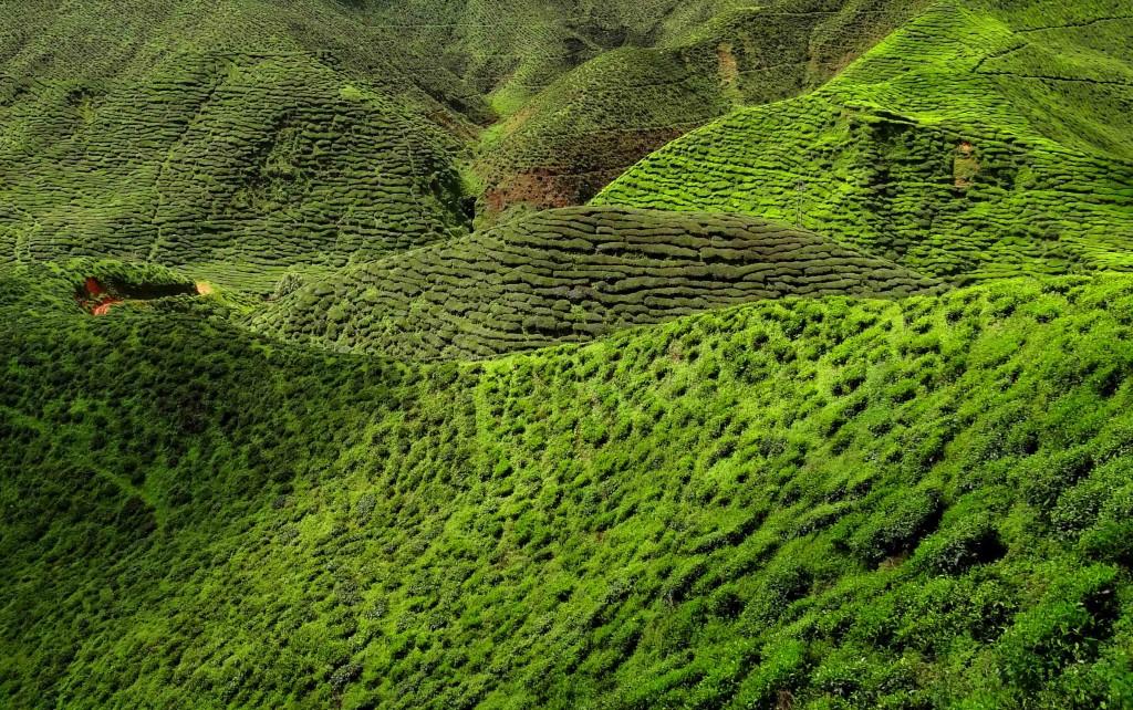 A Malaysia Tea Plantation. Photo: Bjørn Christian Tørrissen, Wikimedia Commons