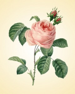 Etsy Antique Botanical Art Vintage Roses Art Print