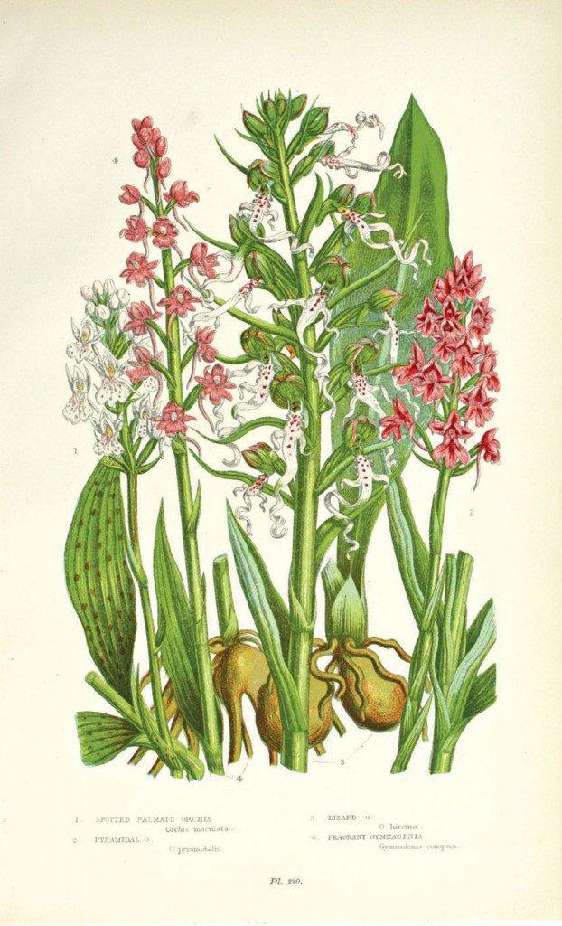 Antique botanical illustration by British artist Anne Pratt.