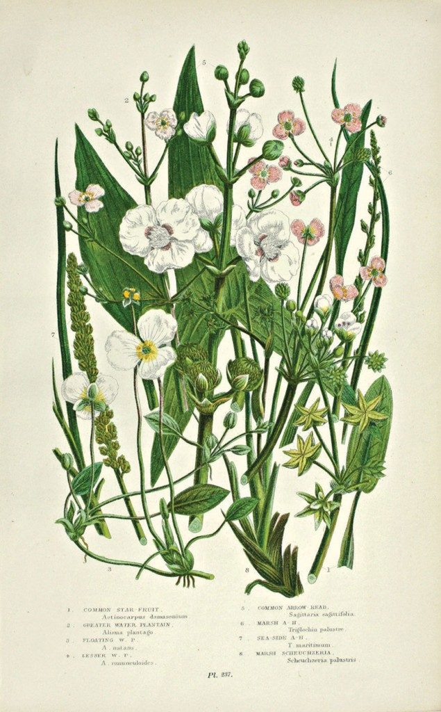 Antique floral print by Anne Pratt