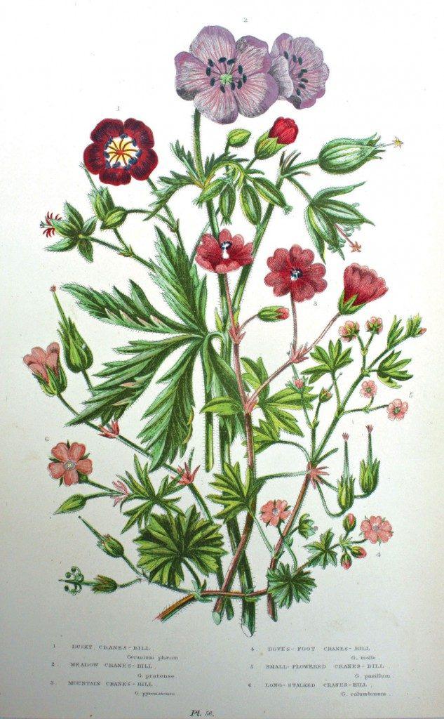Antique Botanical Cranesbill Geranium Print