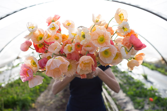 Delicate poppies in peachy hues at Floret Farms.