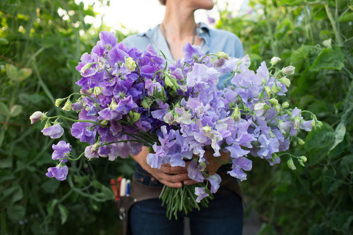 A large bouquet of fresh-from-the-garden sweet pea blossoms from Floret Farms.